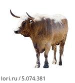 Купить «Большой серый бык», фото № 5074381, снято 5 июля 2013 г. (c) Яков Филимонов / Фотобанк Лори