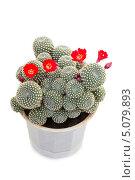 Купить «Цветущий кактус ребуция на белом фоне», фото № 5079893, снято 23 сентября 2013 г. (c) Дудакова / Фотобанк Лори