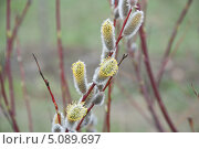 Купить «Верба весной», фото № 5089697, снято 21 апреля 2012 г. (c) Алёшина Оксана / Фотобанк Лори