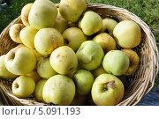 Купить «Яблоки сорта антоновка, собранные в корзину непосредственно с яблони», фото № 5091193, снято 20 сентября 2013 г. (c) Владимир Кошарев / Фотобанк Лори
