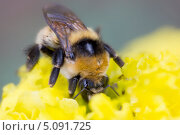 Шмель собирает нектар с цветка. Стоковое фото, фотограф Анастасия Новикова / Фотобанк Лори