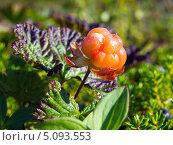 Северная ягода - морошка (спелая), (лат. Rubus chamaemorus) Стоковое фото, фотограф Вячеслав Палес / Фотобанк Лори