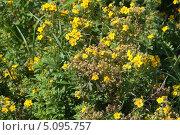 Купить «Лапчатка кустарниковая желтая мелкоцветковая (Potentilla fruticosa)», эксклюзивное фото № 5095757, снято 17 августа 2013 г. (c) Алёшина Оксана / Фотобанк Лори