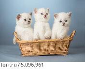 Купить «Три котенка в корзине», фото № 5096961, снято 13 февраля 2013 г. (c) Андрей Кузьмин / Фотобанк Лори
