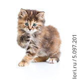 Маленький черепаховый котенок породы курильский бобтейл поднял лапу. Стоковое фото, фотограф Андрей Кузьмин / Фотобанк Лори