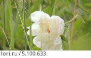Купить «Белый бутон пиона», видеоролик № 5100633, снято 24 июня 2013 г. (c) Юрий Александрович Балдин / Фотобанк Лори