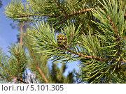 Еловая шишка на ветке. Стоковое фото, фотограф Безенцев Сергей / Фотобанк Лори