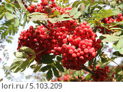 Большие грозди рябины. Стоковое фото, фотограф Яковлева Анастасия / Фотобанк Лори