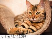 Купить «Бенгальский кот», фото № 5113397, снято 16 мая 2013 г. (c) Швайгерт Екатерина / Фотобанк Лори