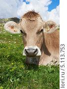 Купить «Корова на лугу крупным планом», фото № 5113753, снято 4 июля 2013 г. (c) Дмитрий Калиновский / Фотобанк Лори