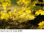 Кленовый лист осенний. Стоковое фото, фотограф Вячеслав Сапрыкин / Фотобанк Лори
