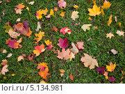 Купить «Осенние разноцветные кленовые листья лежат на зеленой траве», фото № 5134981, снято 8 октября 2013 г. (c) Мария Сударикова / Фотобанк Лори