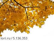Купить «Яркие желтые листья клена на фоне светлого неба», фото № 5136353, снято 8 октября 2013 г. (c) Мария Сударикова / Фотобанк Лори