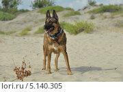 Собака стоит в дюнах. Стоковое фото, фотограф Elena Baranovskaya / Фотобанк Лори
