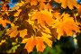 Яркие осенние листья, фото № 5151449, снято 11 октября 2013 г. (c) Игорь Архипов / Фотобанк Лори