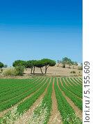 Томатное поле в яркий летний день. Стоковое фото, фотограф Elnur / Фотобанк Лори