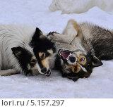 Две собаки играют. Стоковое фото, фотограф Александр Соловьев / Фотобанк Лори