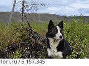 Охотничья собака. Стоковое фото, фотограф Александр Соловьев / Фотобанк Лори
