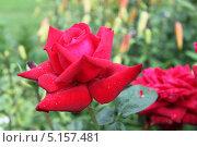 Красная роза. Стоковое фото, фотограф Алена Жукова / Фотобанк Лори