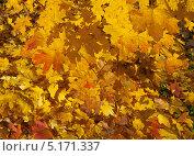 Купить «Осенние листья», эксклюзивное фото № 5171337, снято 12 октября 2013 г. (c) Зобков Георгий / Фотобанк Лори