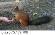 Купить «Белка берет орехи с ладони», видеоролик № 5179709, снято 3 октября 2013 г. (c) Михаил Коханчиков / Фотобанк Лори
