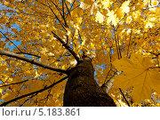 Осень. Клен. Стоковое фото, фотограф Сергей Павлов / Фотобанк Лори