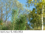 Верхушка молоденькой сосны и осенние берёзы. Стоковое фото, фотограф Вячеслав Сапрыкин / Фотобанк Лори