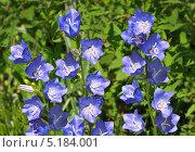 Голубые  персиколистные колокольчики. Стоковое фото, фотограф Agnes Chvankova / Фотобанк Лори