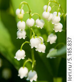 Купить «Ландыши (лат. Convallaria)», фото № 5185837, снято 4 мая 2012 г. (c) ИВА Афонская / Фотобанк Лори