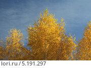Береза. Стоковое фото, фотограф Надежда Бурцева / Фотобанк Лори