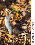 Купить «Белка на задних лапках, малая глубина резкости, фокус на мордочке», фото № 5196965, снято 22 октября 2013 г. (c) Argument / Фотобанк Лори
