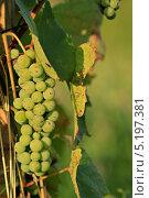 Гроздь зеленого винограда. Стоковое фото, фотограф daniel0 / Фотобанк Лори