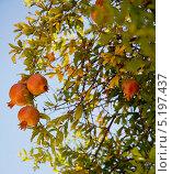 Гранаты на дереве. Стоковое фото, фотограф Наталья Наточина / Фотобанк Лори