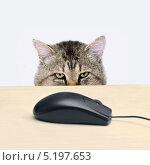 Купить «Кошка смотрит на компьютерную мышь», фото № 5197653, снято 22 мая 2012 г. (c) Юрий Плющев / Фотобанк Лори