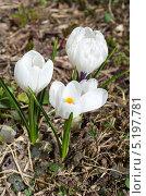 Купить «Белые крокусы (Crocus)», эксклюзивное фото № 5197781, снято 26 апреля 2013 г. (c) Елена Коромыслова / Фотобанк Лори