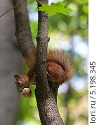Купить «Белка с орехом на дереве», фото № 5198345, снято 18 августа 2013 г. (c) Анна Полторацкая / Фотобанк Лори