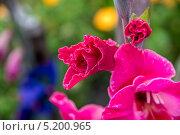 Гладиолус. Стоковое фото, фотограф Дмитрий / Фотобанк Лори