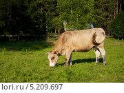 Корова на пастбище. Стоковое фото, фотограф Irina Kolokolnikova / Фотобанк Лори