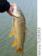 Купить «Карп зеркальный в руке рыбака над водой», фото № 5210913, снято 19 октября 2013 г. (c) Олег Пчелов / Фотобанк Лори