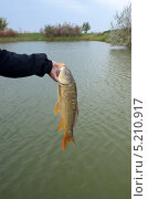 Купить «Карп зеркальный в руке рыбака над водоемом», фото № 5210917, снято 19 октября 2013 г. (c) Олег Пчелов / Фотобанк Лори