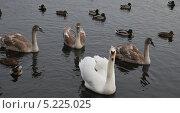 Семья лебедей в окружении уток. Стоковое фото, фотограф Елена Носик / Фотобанк Лори