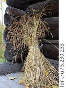 Сноп пшеницы. Стоковое фото, фотограф Gorelova Tatiana / Фотобанк Лори