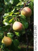Плоды груши на ветке. Стоковое фото, фотограф Мария Северина / Фотобанк Лори