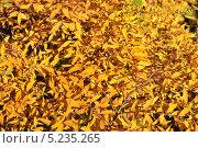 Купить «Желтые осенние листья», эксклюзивное фото № 5235265, снято 13 октября 2013 г. (c) lana1501 / Фотобанк Лори
