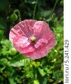 Купить «Розовый мак на фоне зеленой травы», фото № 5241429, снято 9 июля 2013 г. (c) Светлана Ильева (Иванова) / Фотобанк Лори