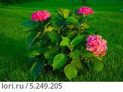 Гортензия. Стоковое фото, фотограф Братчук Геннадий / Фотобанк Лори