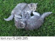 Котята играют на траве. Стоковое фото, фотограф Братчук Геннадий / Фотобанк Лори