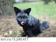Купить «Чернобурая лиса», фото № 5249417, снято 2 октября 2011 г. (c) Юля Волкова / Фотобанк Лори