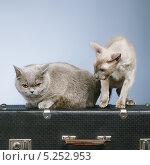 Два породистых кота сидят на чемодане. Стоковое фото, фотограф Петр Малышев / Фотобанк Лори
