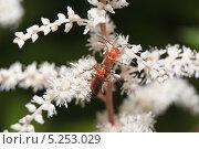 Жуки мягкотелки рыжие (Rhagonycha fulva) на астильбе (Astilbe) Стоковое фото, фотограф Алёшина Оксана / Фотобанк Лори